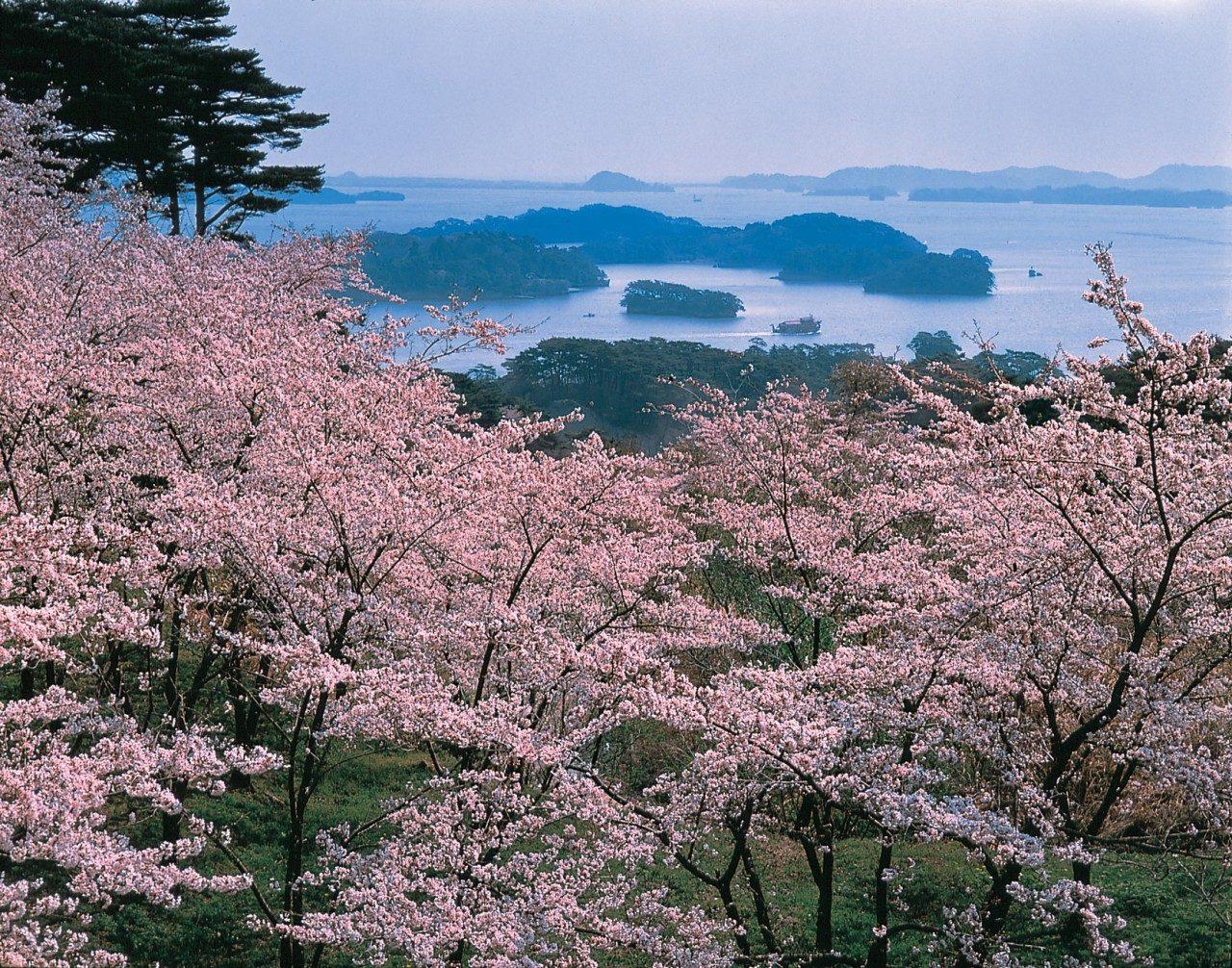 Kirschblüten vor der Bucht von Matsushima