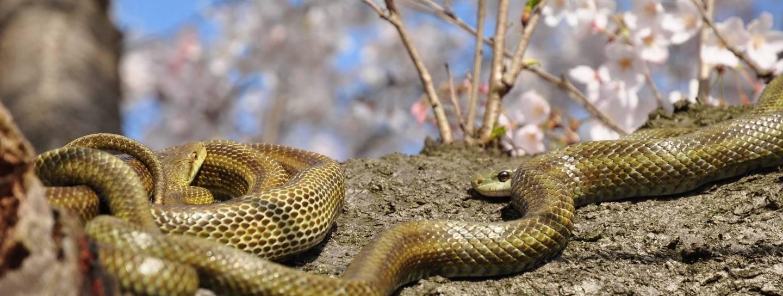 zwei Japanische Rattenschlangen