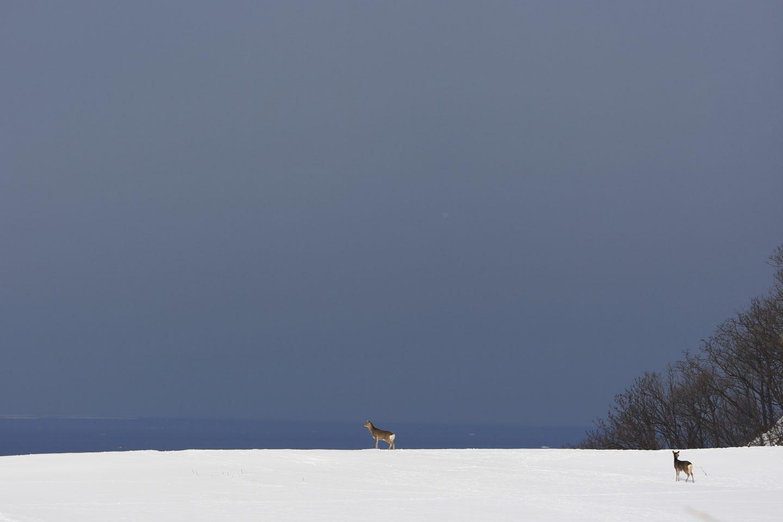 Sika Hirsch Shiretoko japan Hokkaido