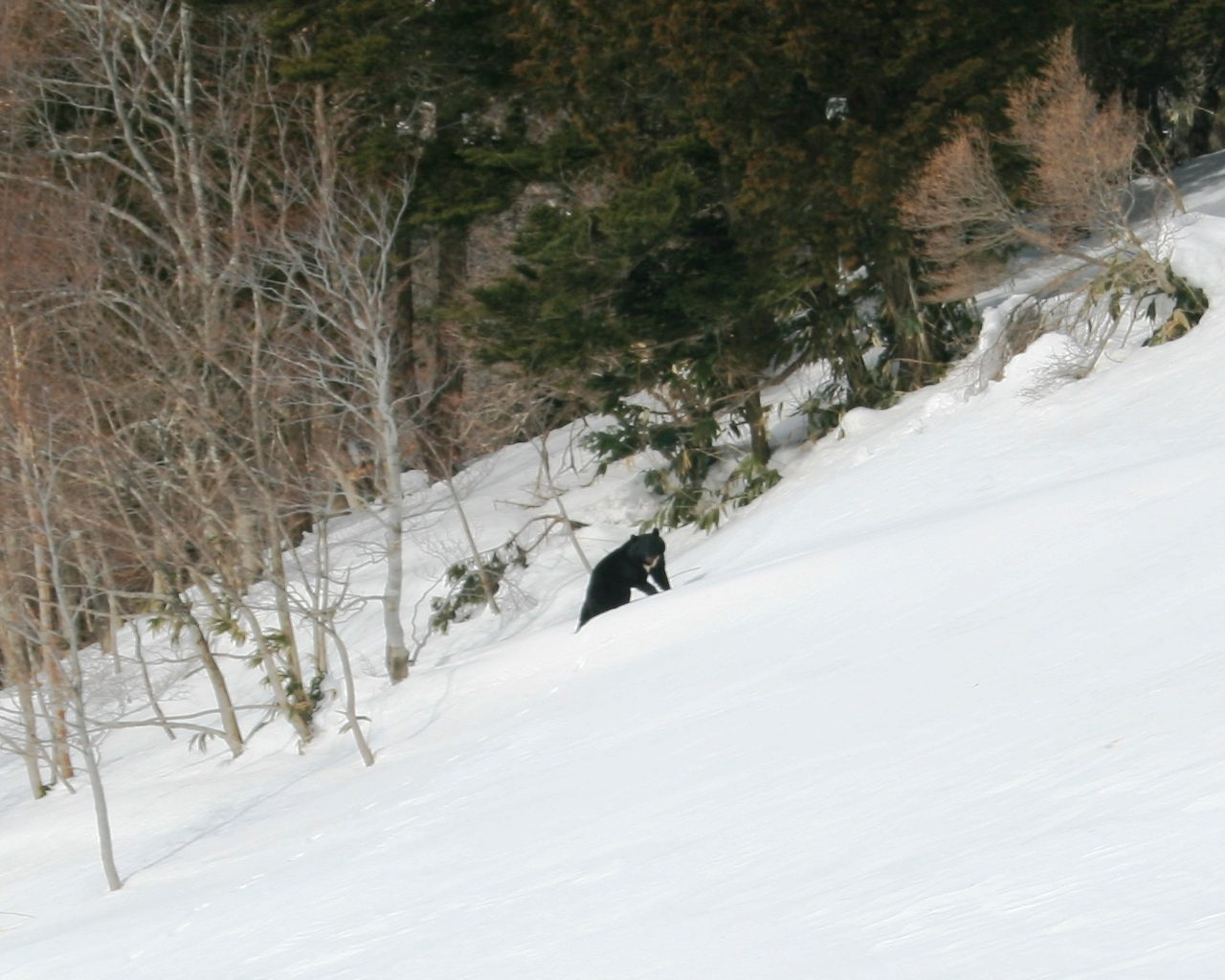 Kragenbär im Schnee