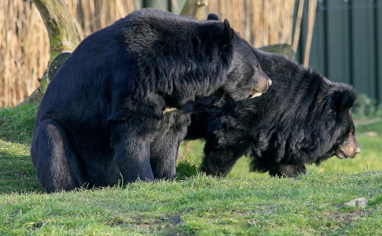 Kragenbären