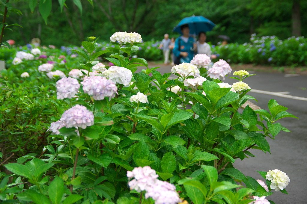 Blühende Hortensien am Straßenrand