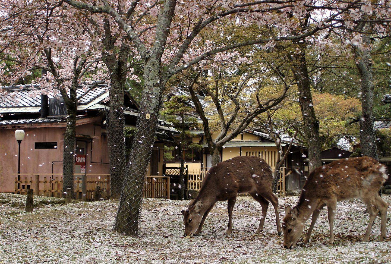 Rehe in Nara unter Kirschblüten