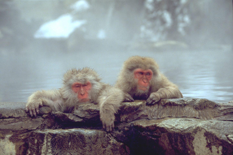Japan-Makaken baden in einer heißen Quelle