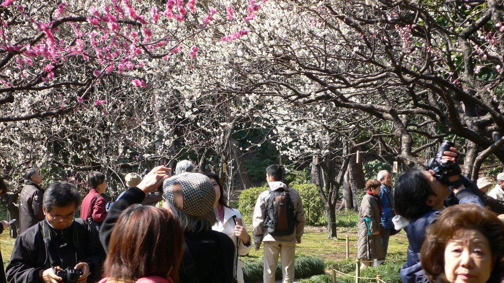 Pflaumenblüte Tokyo