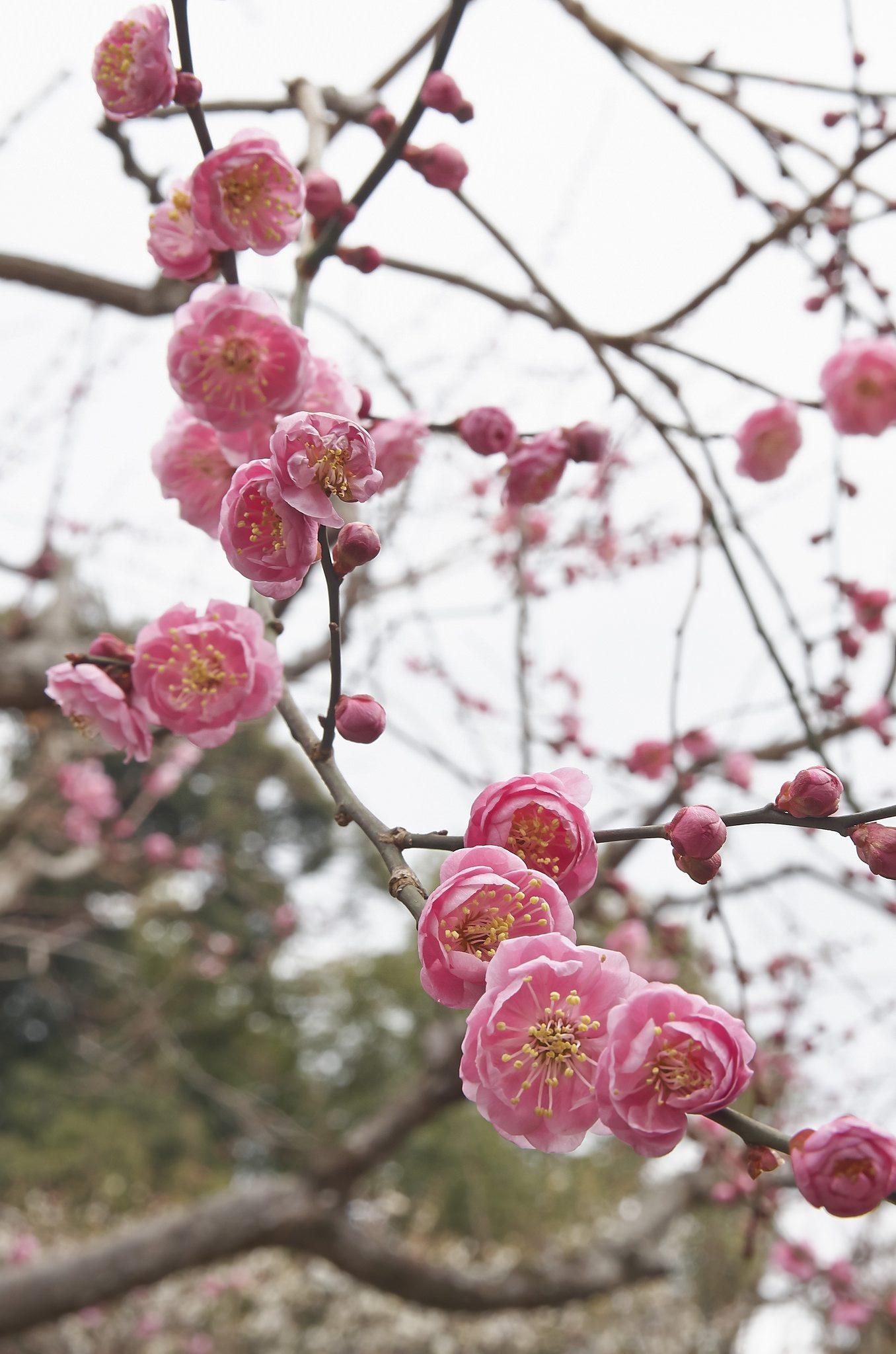 Pflaumenblüte Japan