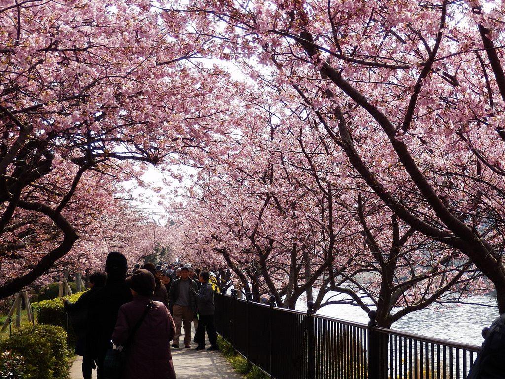 Kawazu Kirschblüte Japan