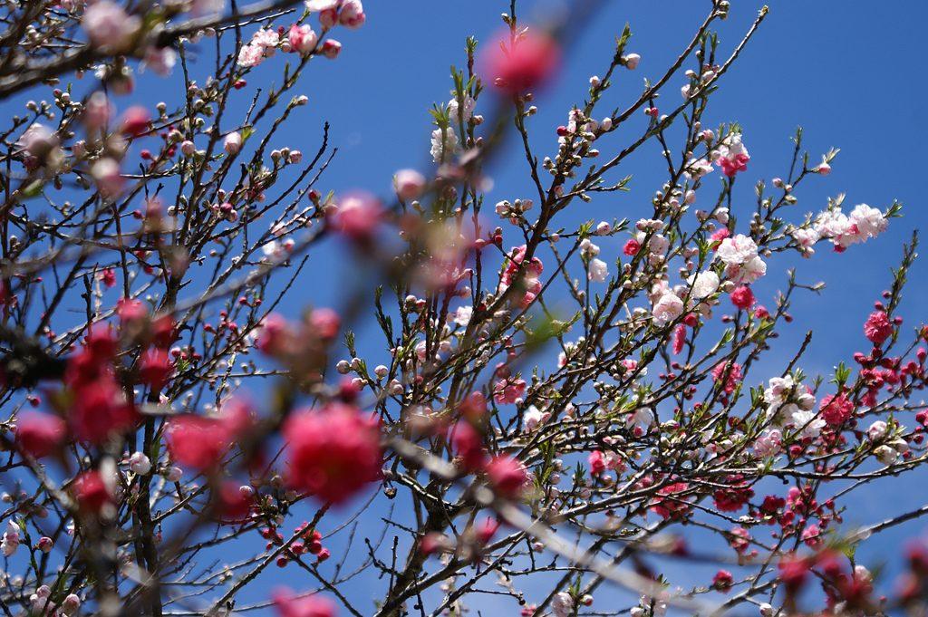 Pflaumenbaum Japan