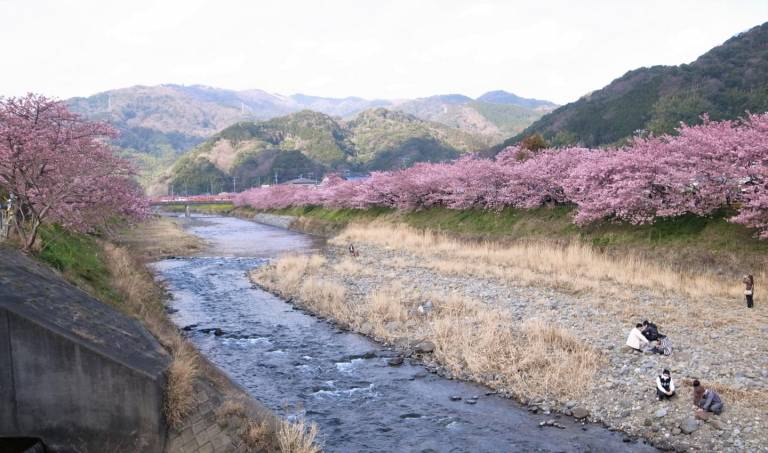 Kirschblüte Kawazu