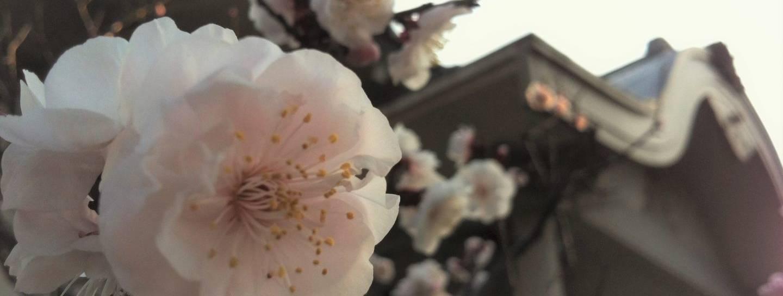 Pflaume Tokyo