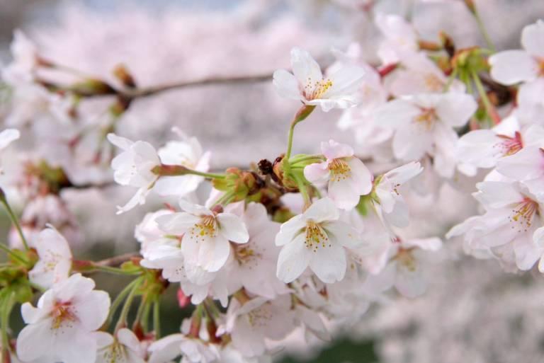 Kirschblüte Japan