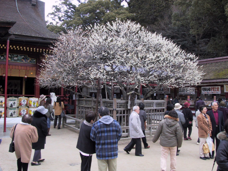 Pflaumenbaum Fukuoka