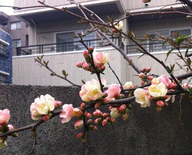 Pflaume Japan