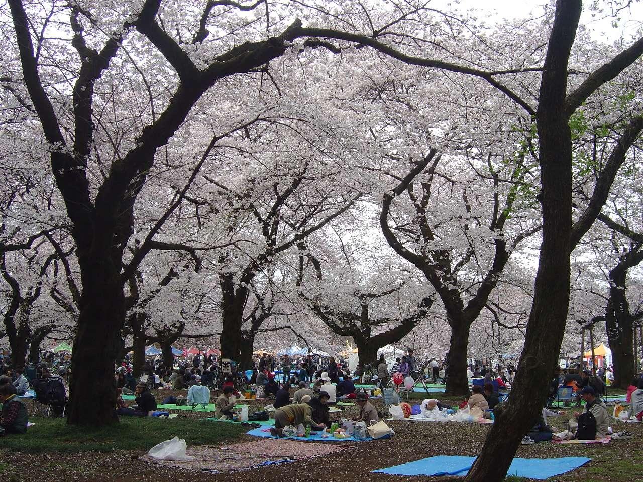 Kirschblüte Sakura Hanami