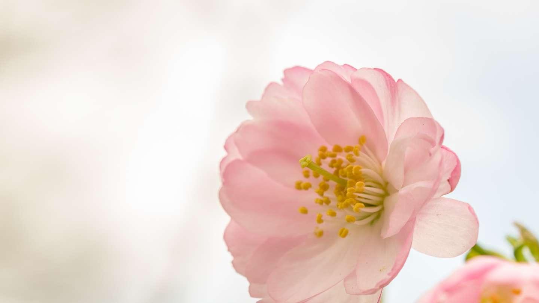Nahaufnahme der Blüte einer edohigan