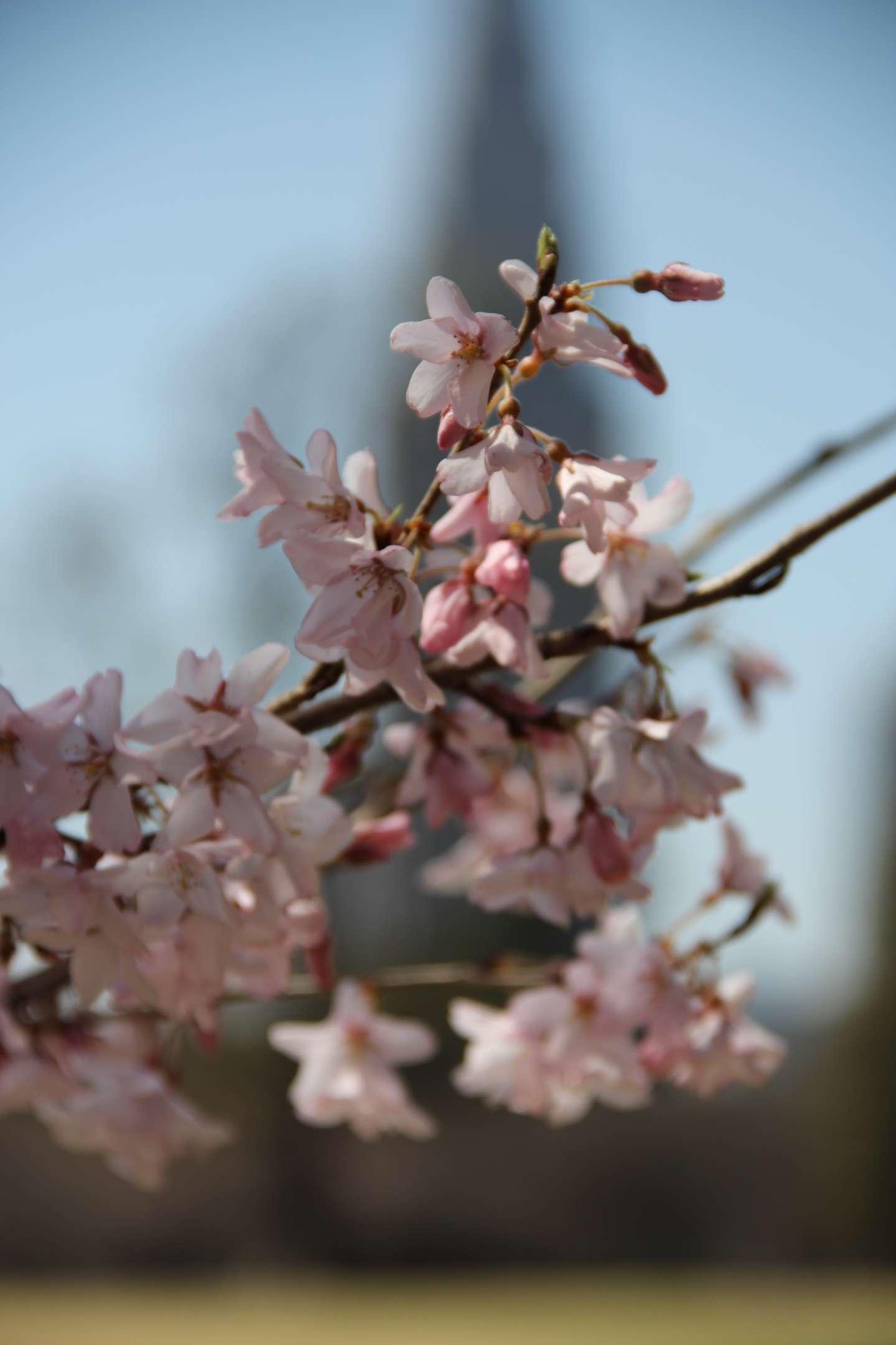 Nahaufnahme der Blüten einer edohigan