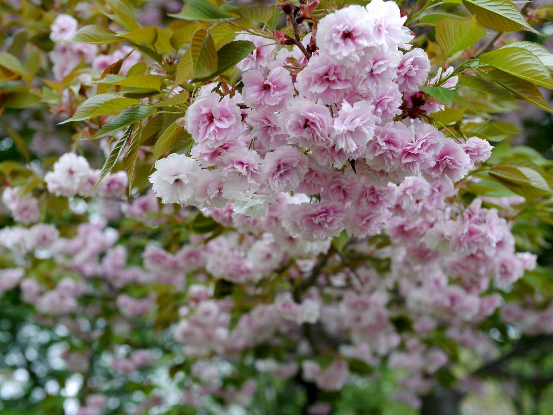 blüten der fugenzō