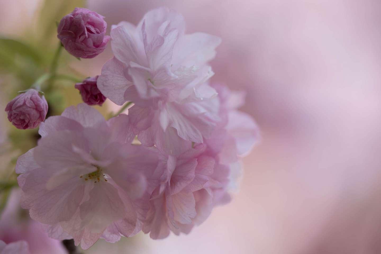 Nahaufnahme der Blüte einer ichiyō