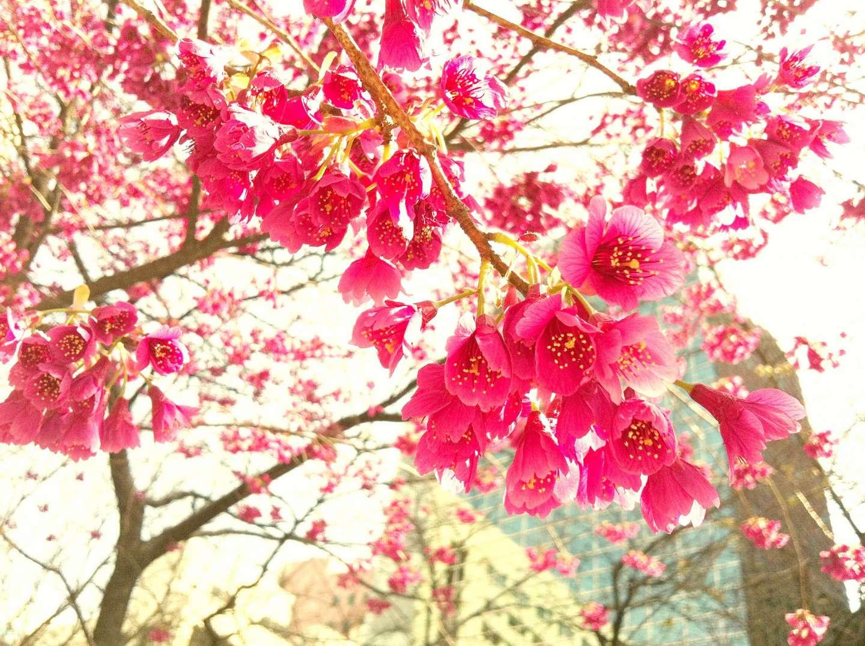 Nahaufnahme der Blüte einer kanhizakura