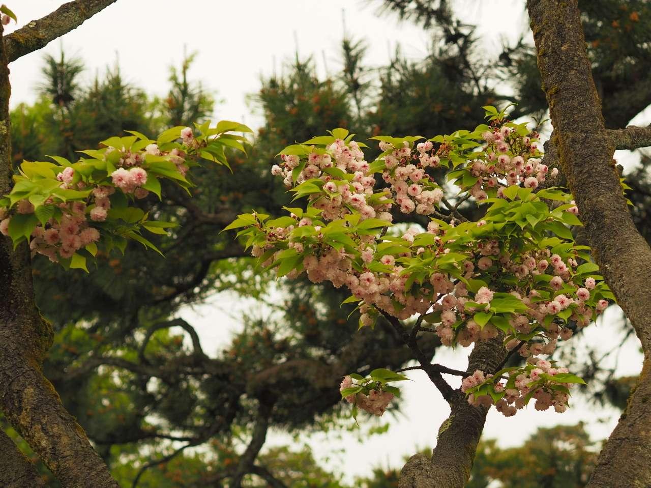 Blüten der kikuzakura mit grünen Blättern