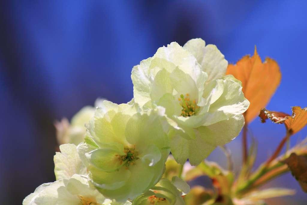Nahaufnahme der Blüten einer ukon