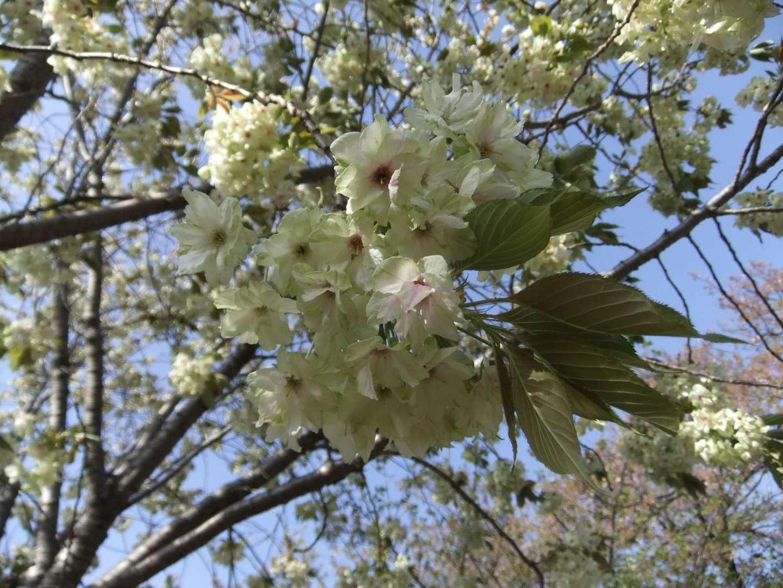 Blüten der ukon