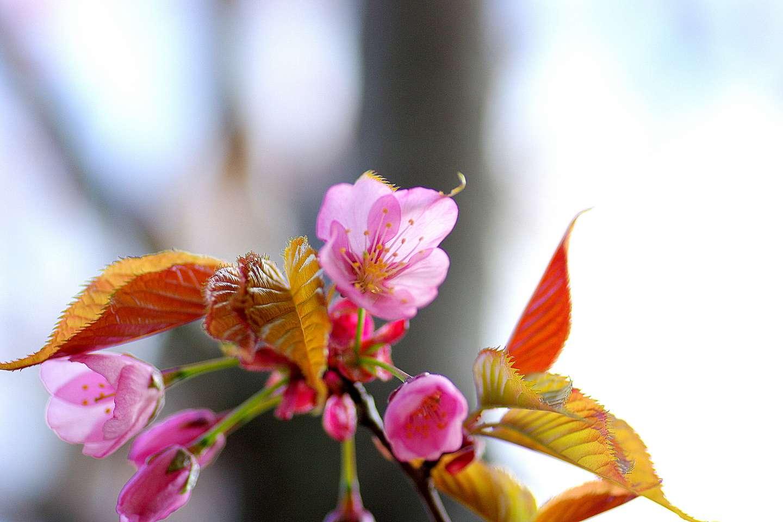 Nahaufnahme der Blüte einer yama zakura