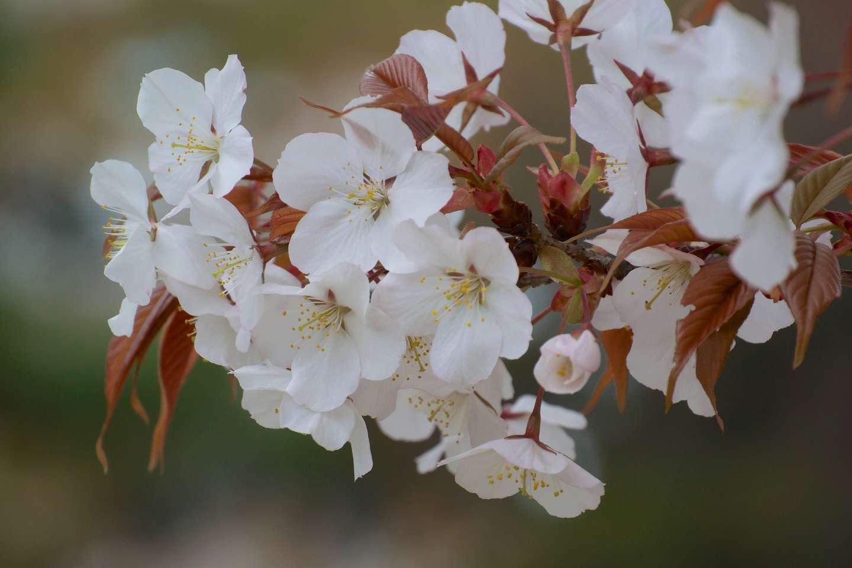 Blüten der yama zakura