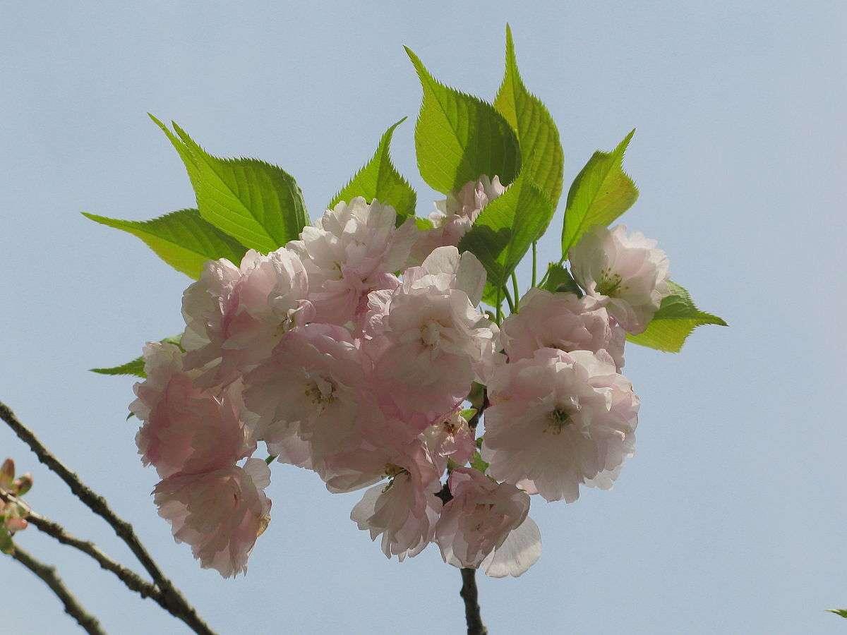 Blüten der ichiyō