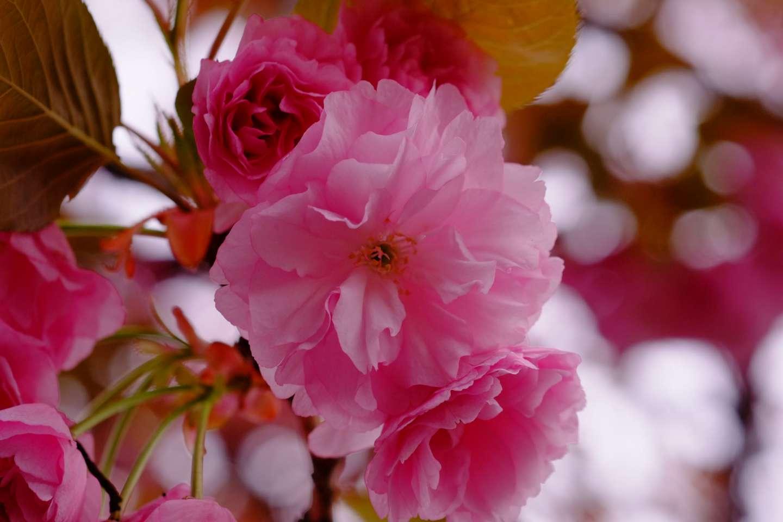 Nahaufnahme der Blüten einer kanzan