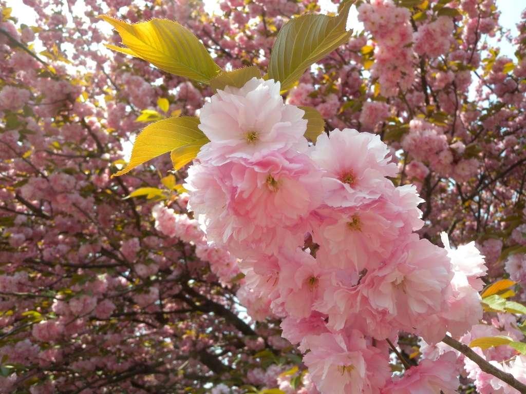 Blüten der kanzan