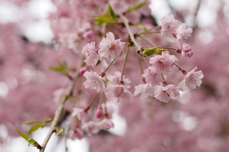 Nahaufnahme der Blüten einer shidare zakura