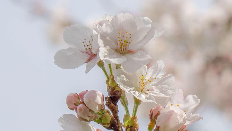 Nahaufnahme der Blüten einer somei yoshino