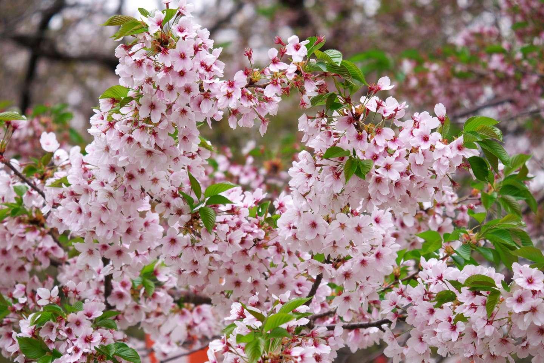 Blüten der somei yoshino