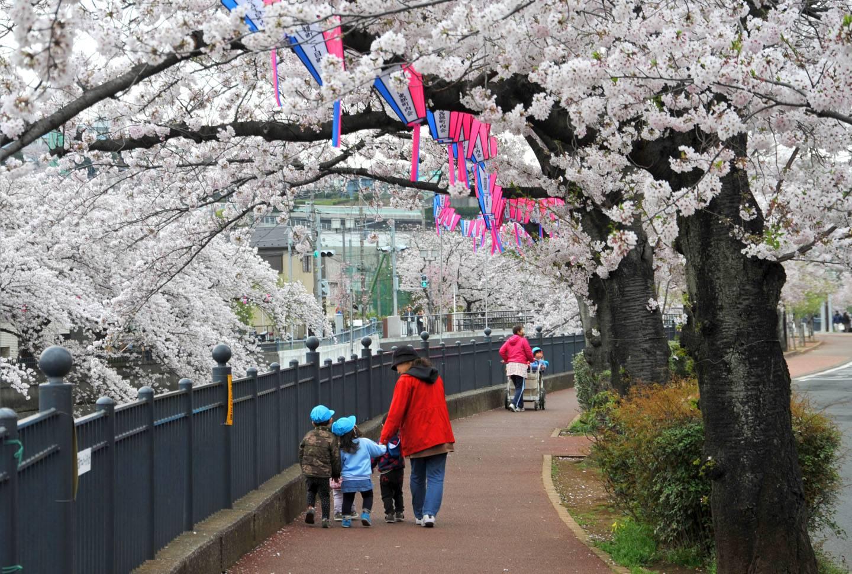 Kirschblüte Yokohama Sakura Hanami Ookagawa
