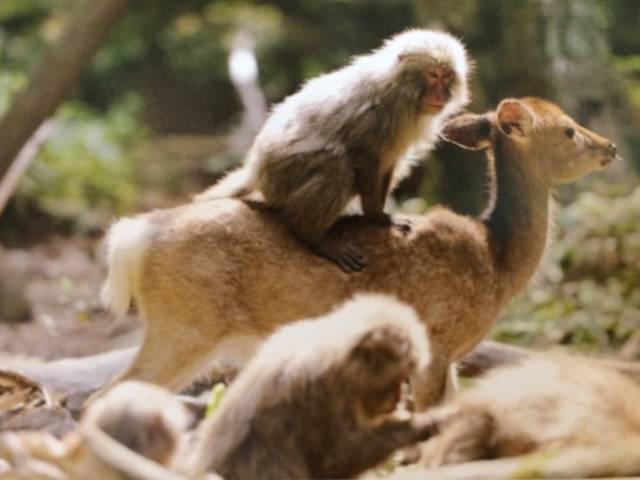 makak und hirsch yakushima