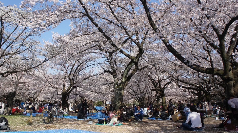 Hanami im Yoyogi Park