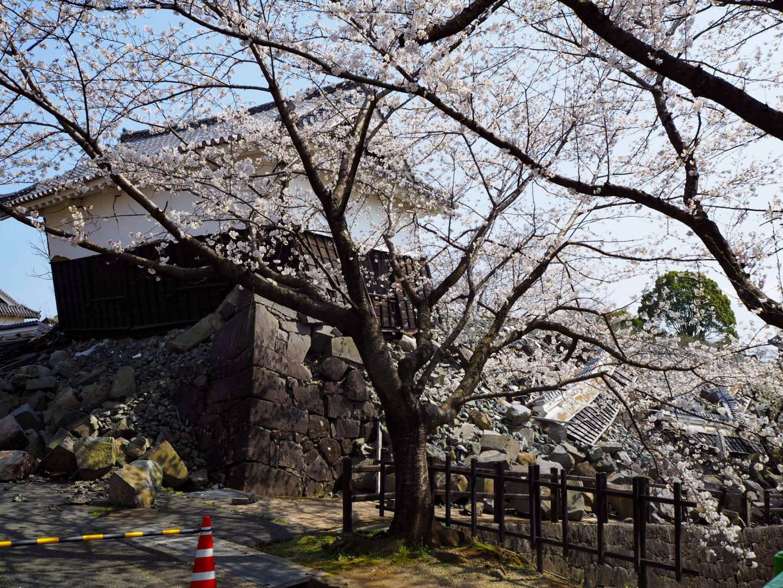 kirschblüte kumamoto