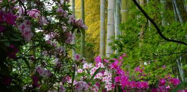 Kyotos Bambuswald im Frühling