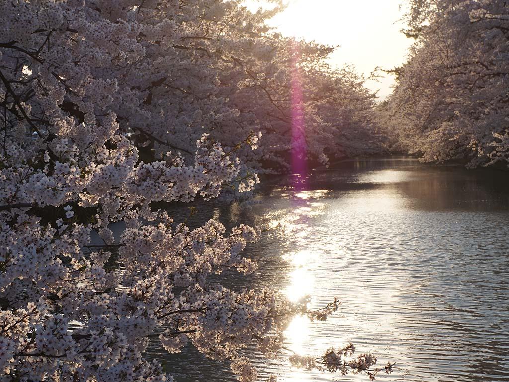 Kirschblüten vor dem Hirosaki Park