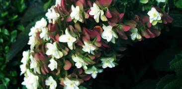 weiße hortensien mit roten blättern
