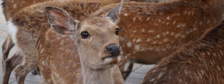 Hirsch in Nara