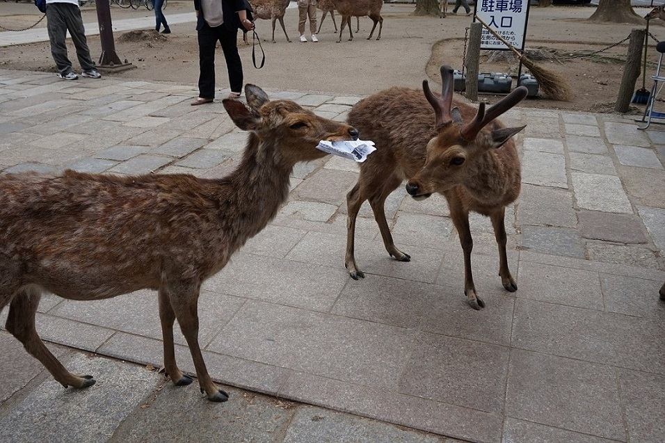 Papierfressende Hirsche in Nara