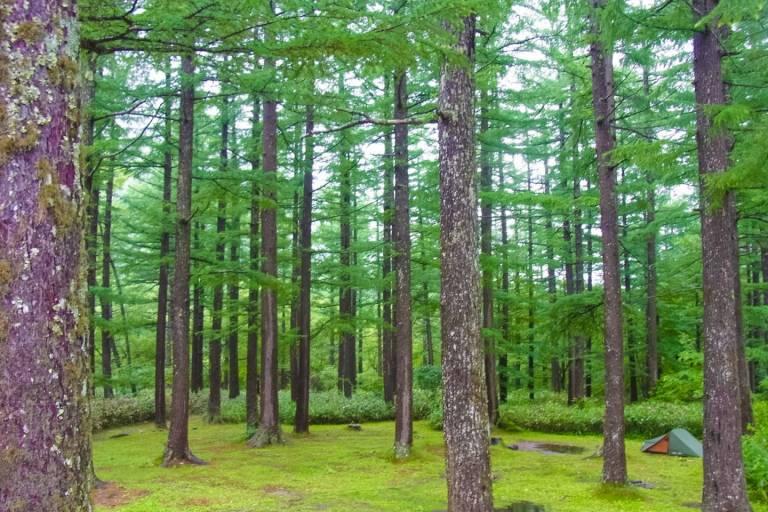 Nadelwald in Japan