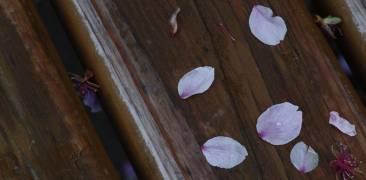 Nahaufnahme von Kirschblütenblättern auf einer Bank