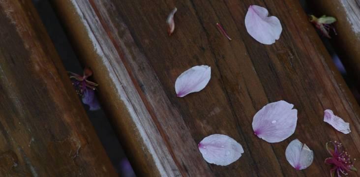 Die flüchtige Schönheit der Kirschblüte.
