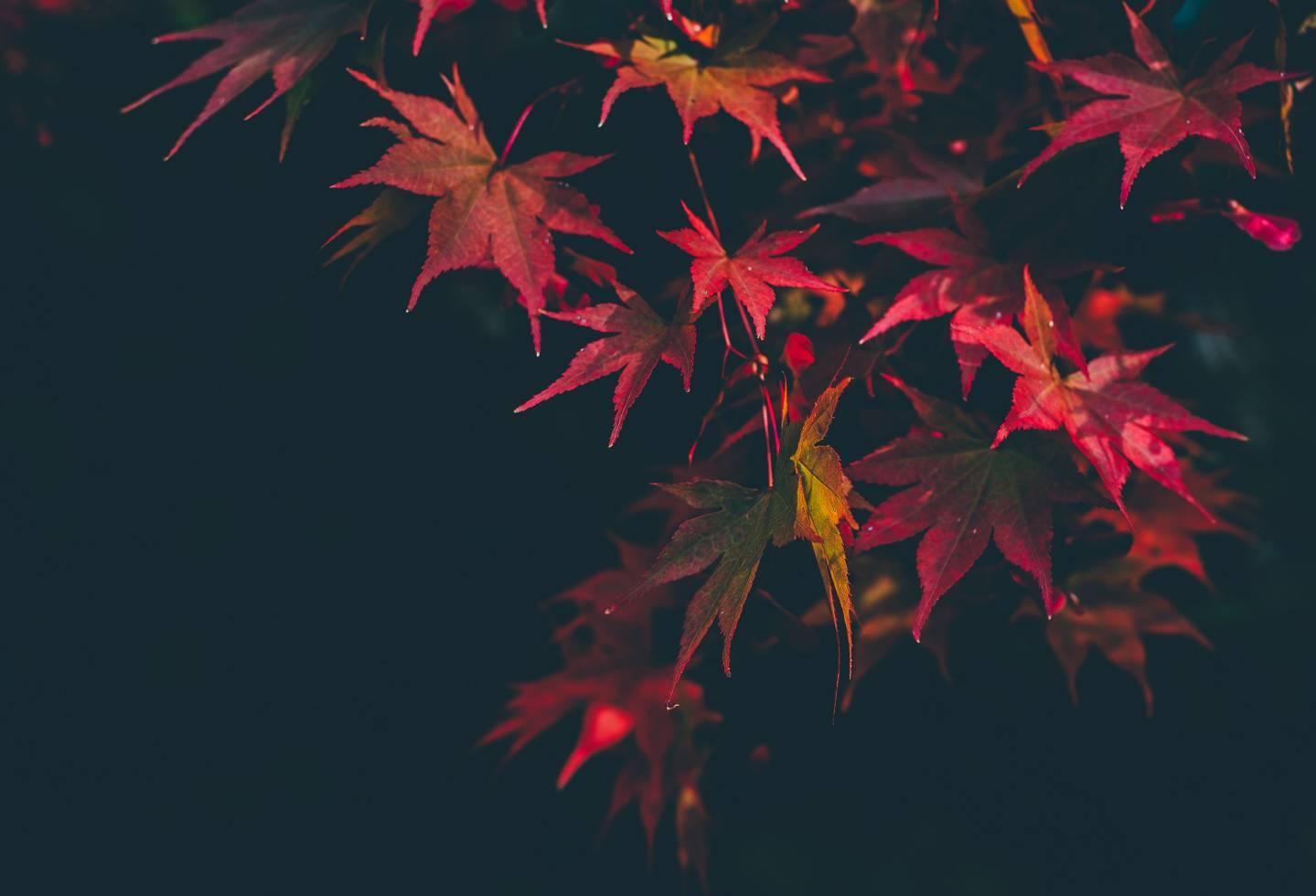 Rot gefärbtes Herbstlaub vor nächtlich-schwarzem Himmel