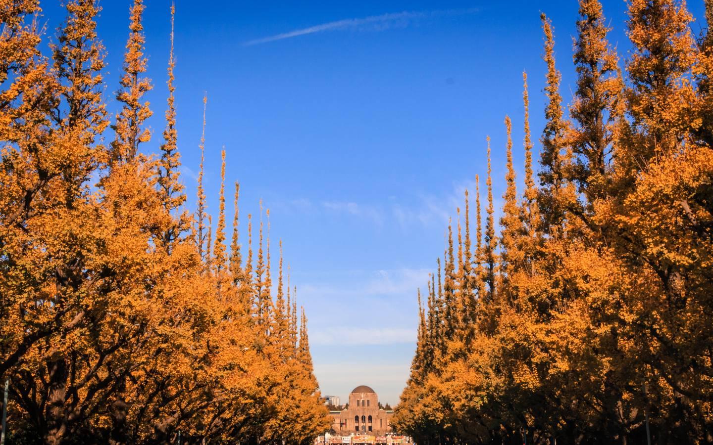 Der blaue Himmel im kunstvollen Kontrast zu dem orange-gelben Ginkgo-Tunnel.