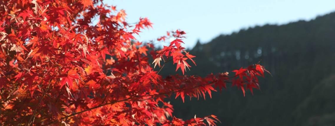 Herbstfärbung der Blätter