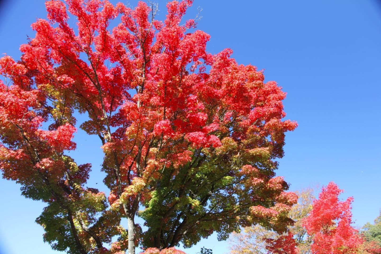 Leuchtend rote Blätter